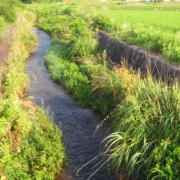 野生のメダカが棲む小川
