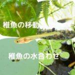 稚魚の移動と水合わせ