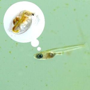 稚魚の餌ミジンコ