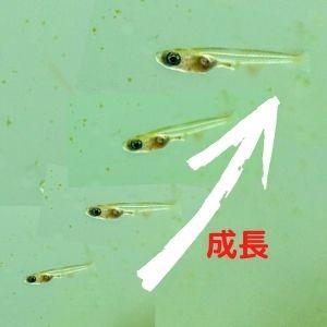 稚魚の成長速度