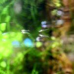 メダカの稚魚の色