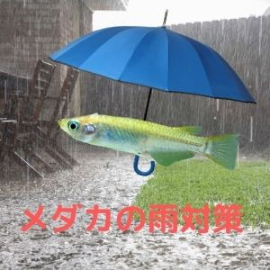 メダカの雨対策