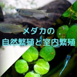 メダカの自然繁殖と室内繁殖