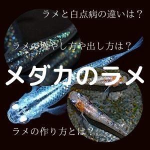 メダカのラメ